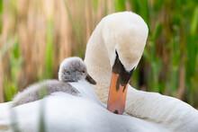 Mute Swan (Cygnus Olor) Mum Wi...