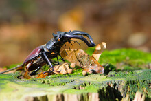 Stag Beetle On An Old Tree Stump With Green Moss