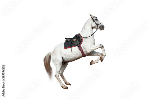 Beautiful white horse with a saddle rears up on a white background isolate Fototapet