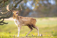 Fallow Deer Stag Rut During Au...