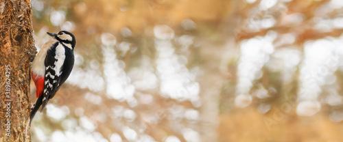 Obraz na płótnie Woodpecker on a tree