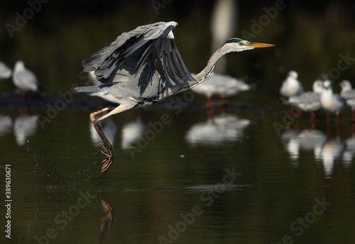 Fotomural The herons are long-legged freshwater and coastal birds