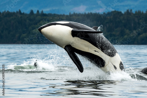 Tela Bigg's orca whale jumping out of the sea in Vancouver Island, Canada