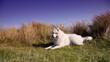 samoyed dog lying on the coast