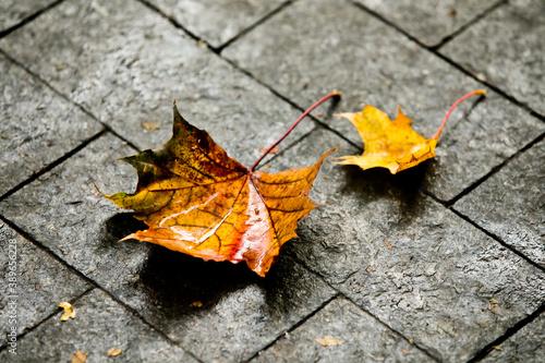 Two yellow maple leaves on a wet sidewalk Fototapet