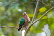 Emerald Dove Bird On A Tree