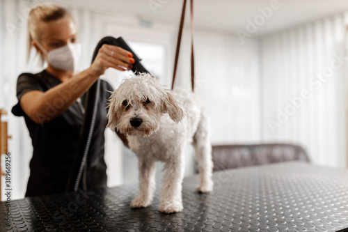 Fotografiet Dog showering and drying at the grooming saloon by pet beautician