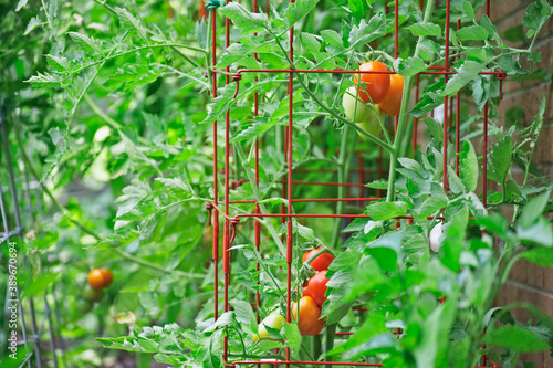 Obraz na plátne Homegrown plum tomatoes ripening on the vine inside tomato cages in an organic k