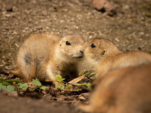 Two Black Tailed Prairie Dogs In The Sun