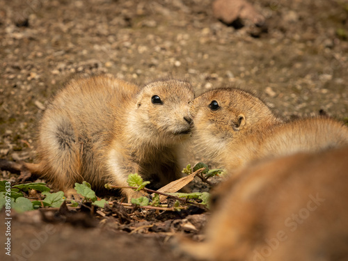 Canvastavla Two black tailed prairie dogs in the sun
