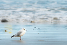 A Black-headed Gull Standing On The Beach