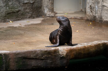 A Young Southern Sea Lion In A...
