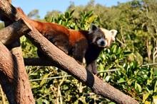 Close Up The Red Panda Ailuru...