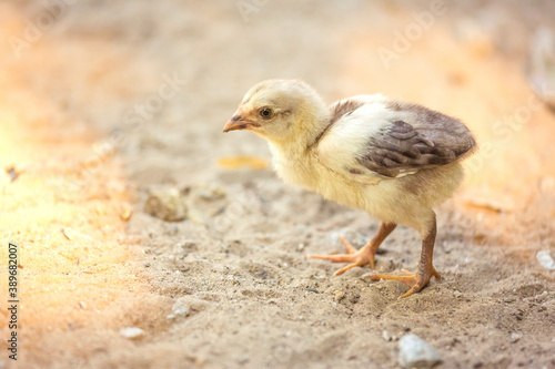 Baby chick Canvas