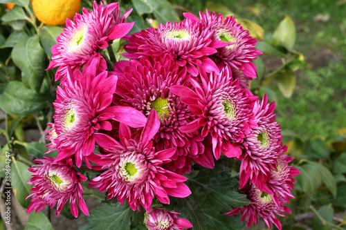 Photo Ramo fiorito di crisantemi rossi fotografati in un giardino.