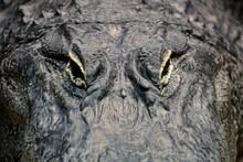 Gros Plan D'alligator Regardan...
