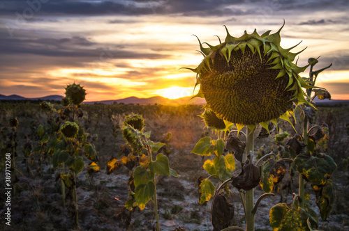 Landscape of dried sunflowers at sunset Fototapet