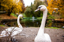 White Swans In A City Park On ...