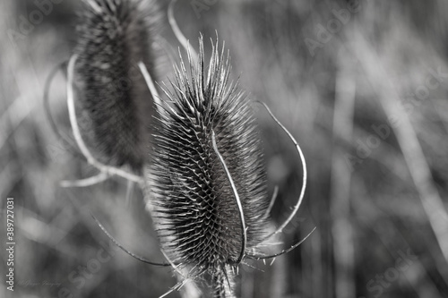 Scotch Thistles in Summer Fototapet