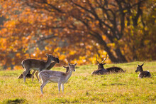 Roe Deer And Deer During Mating In The Forest