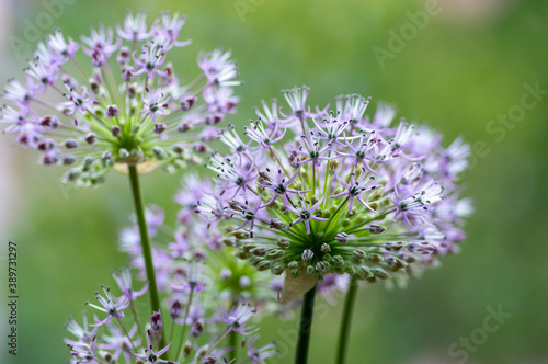 Fotografering Allium hollandicum persian onion dutch garlic purple flowering plant, ornamental
