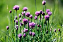 Schnittlauch Pflanze Allium Sc...
