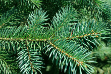 Close Up Of Pine Needles Winter Forest