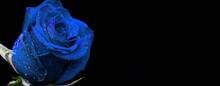 Blue Roses On Black Background Valentono. Womans Day. Love