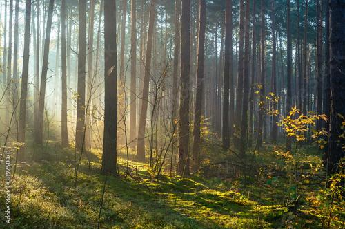 Obraz Las pełen światła, Jesień - fototapety do salonu