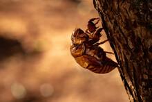 Exuvia Of Typical Cicada