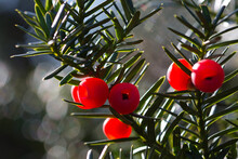Bright Red Yew Berries And Green Leaves