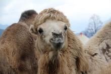 Closeup Shot Of A Brown Camel ...