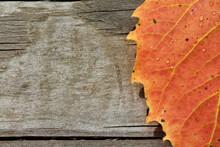 Elm Leaf