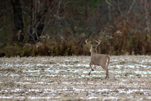 Whitetail Buck Running Through An Open Field, Kicking Up Snow. Mature Buck During The Rut In November.