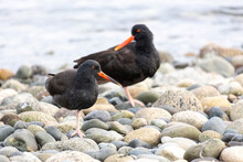 Black Oystercatcher Bird