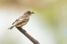 Female Pied Bushchat Picking A...