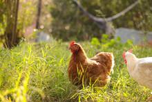 Hen Chicken Free Range In The ...