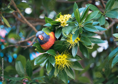 Stampa su Tela Australian Rainbow Lorikeet being cheeky and facing the camera while feeding on bright yellow flowers of a Golden Penda tree showing off its red breast and beak and blue head
