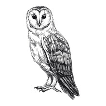 Barn Owl Sketch Isolated On White Background. Vintage Tyto Bird Vector Illustration.