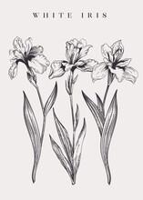 Vintage Poster With Three Irises.