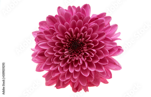 chrysanthemum flower isolated Wallpaper Mural