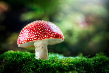 Fly Agaric Red And White Poisonous Mushroom Or Toadstool Background In The Forest