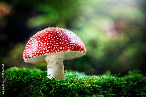 Fotografia, Obraz Fly Agaric red and white poisonous mushroom or toadstool background in the fores