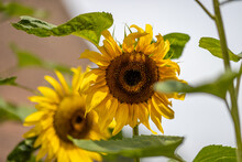 Sunflowers Among The Leaves On A Sunny Day With A Blurred Background. Flower Head Or Pseudanthium, Its Ray Flowers And The Center Of The Head Or Disk Flowers