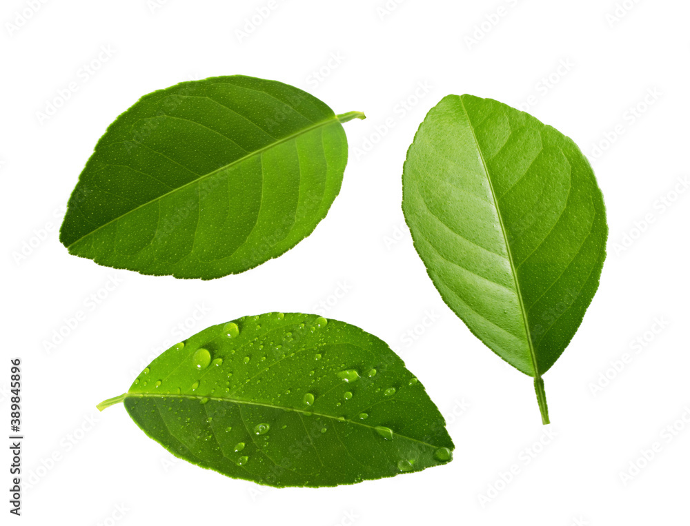 Fototapeta Citrus leaves isolated on white background without shadow