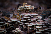 A Group Of Yellow Non Edible Mushrooms Among Dry Oak Leaves. Selective Focus On The Mushrooms. Blurred Background Is Hiding Pine Spikes And Withered Grass. Poland.