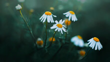 Delicate Flowers Of Daisies Wi...