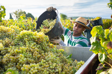 Hispanic Farm Worker Busy In V...
