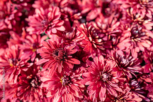 autumn flowers of magenta chrysanthemum in closeup Fotobehang