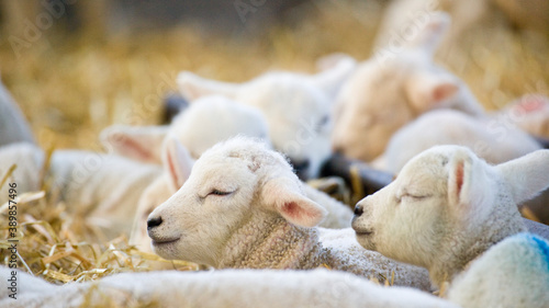 New born Lleyn lamb at lambing time Fototapet